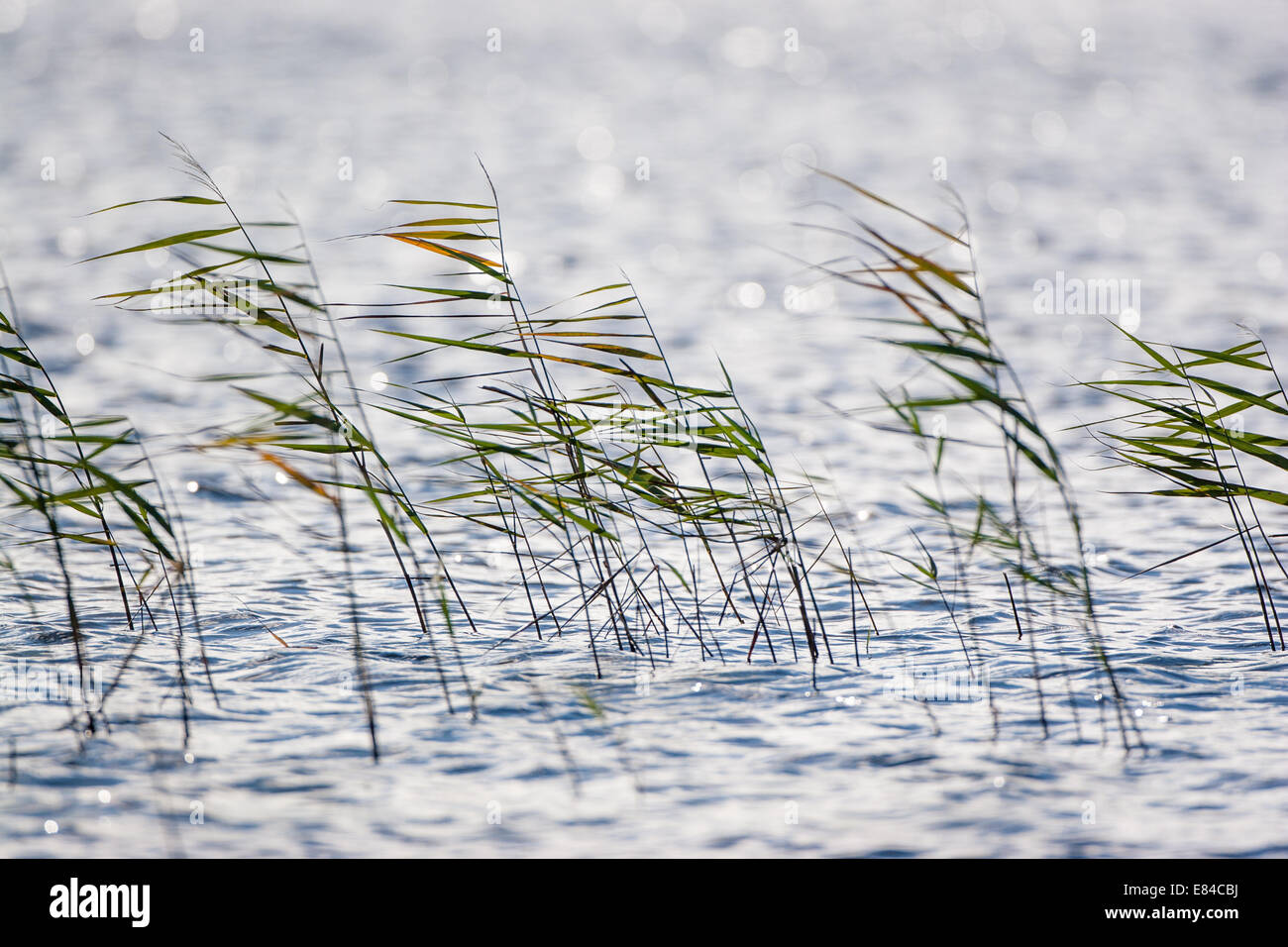 Reed waving in a breeze in the water. - Stock Image
