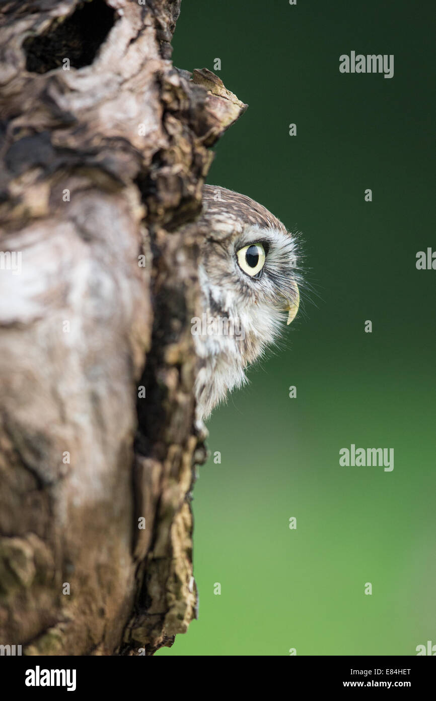 Little Owl (Athene noctua) peering out of a  nest hole in a tree trunk - Stock Image