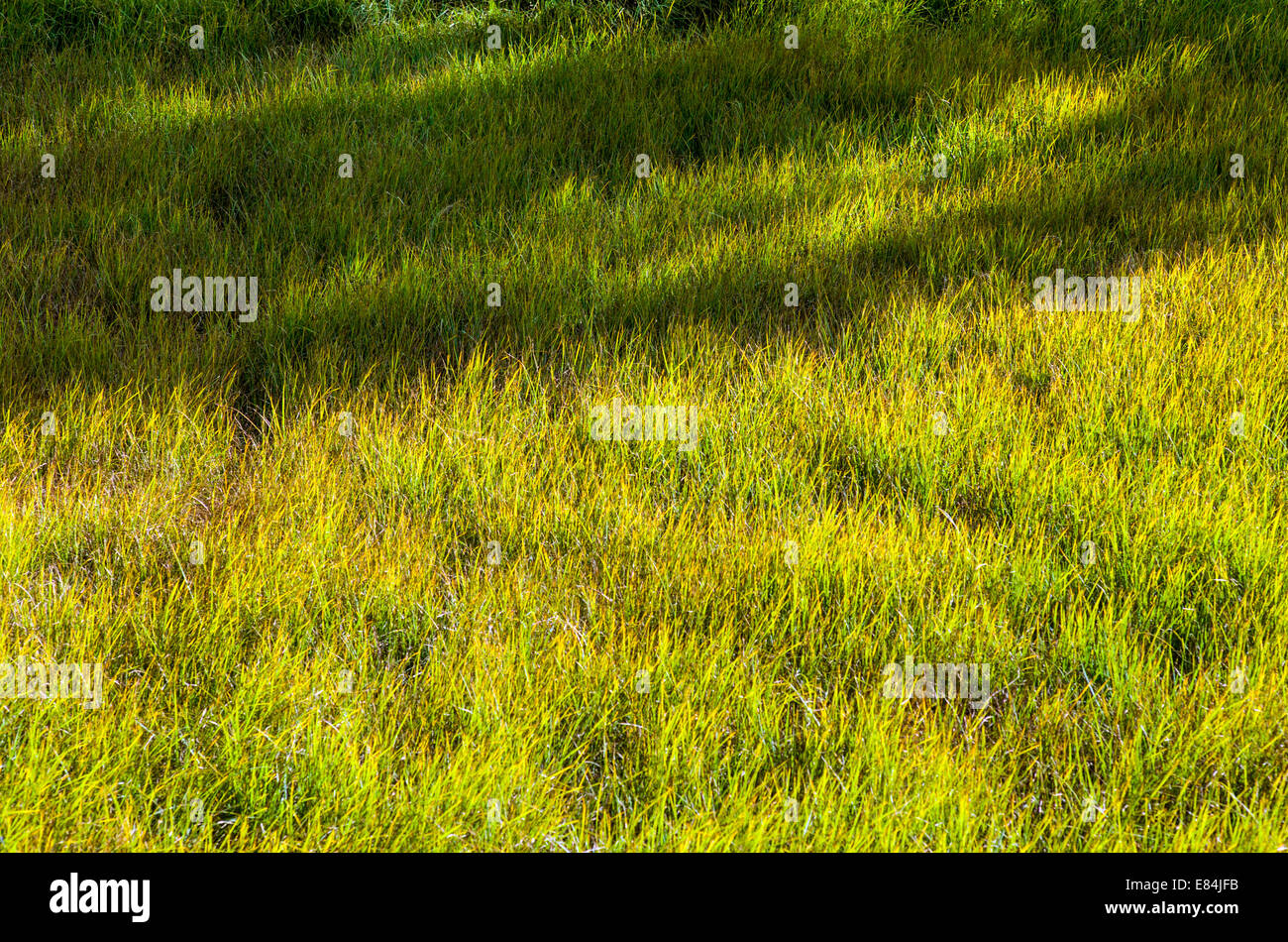 Lush pasture grasses along the Arkansas River, Rocky Mountains beyond, Central Colorado, USA - Stock Image