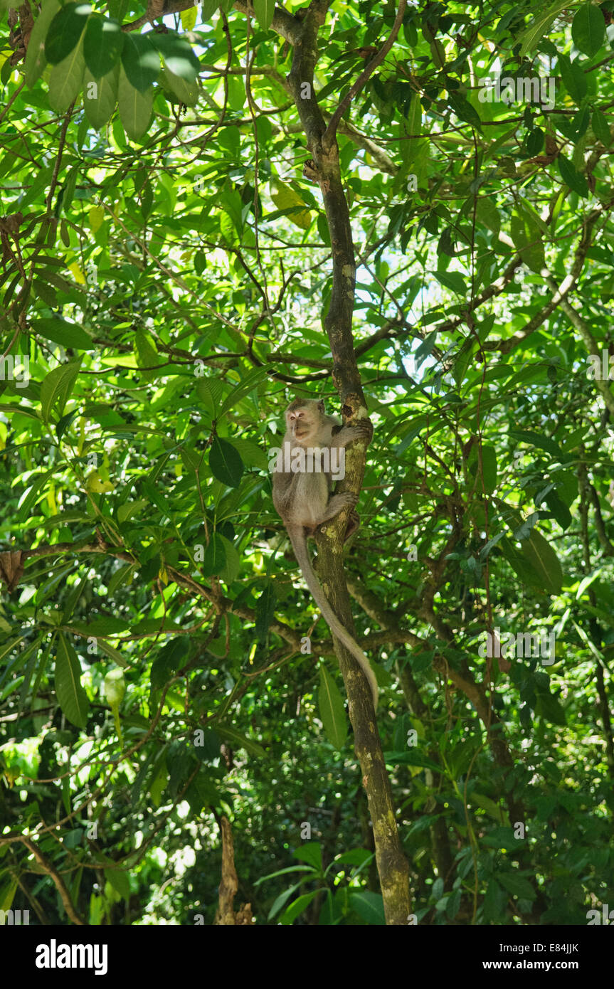 Monkey on the tree at Meru Betiri National Park, Sukamade, East Java, Indonesi - Stock Image