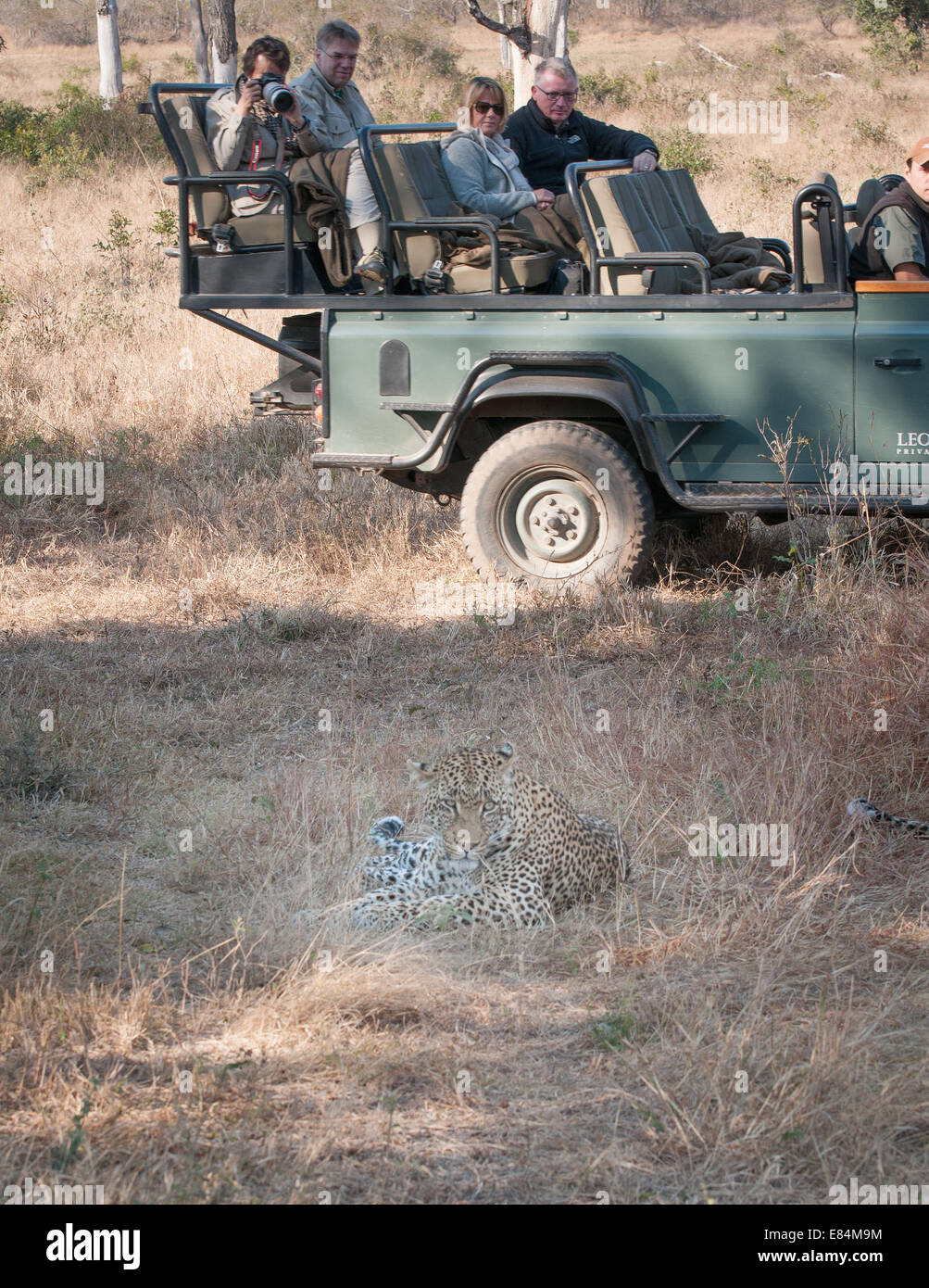 Leopard watched by tourists on safari, Sabi Sands Private Game Reserve, South Africa - Stock Image