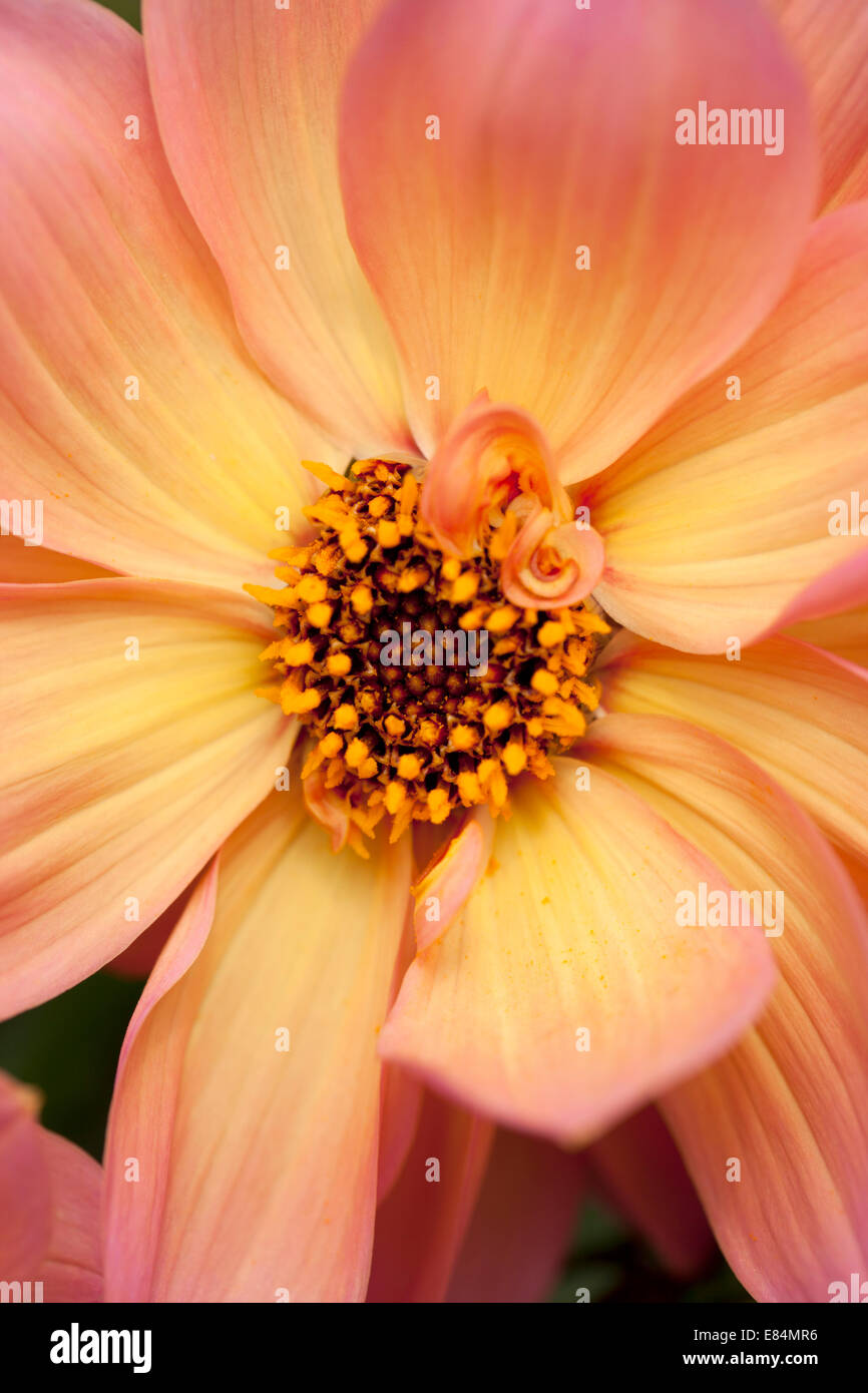 A beautiful apricot coloured dahlia flowering in a garden border - Stock Image