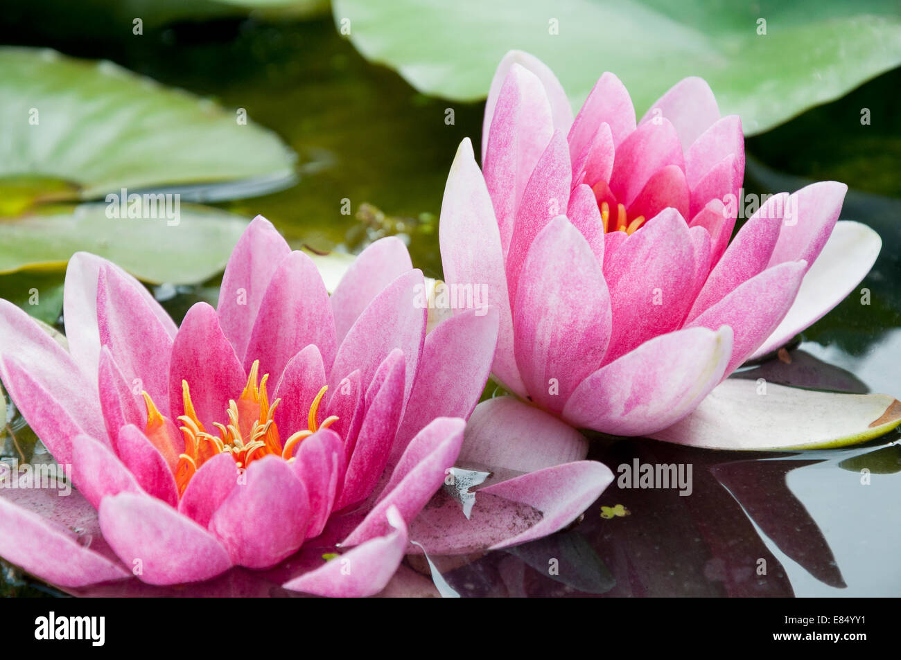 Waterlily Flowers Stock Photos Waterlily Flowers Stock Images Alamy