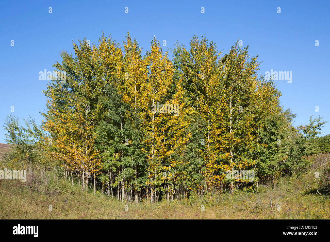 Poplar grove in a hollow in Rough Fescue grassland with change in colors from summer green to autumn yellow - Stock Image