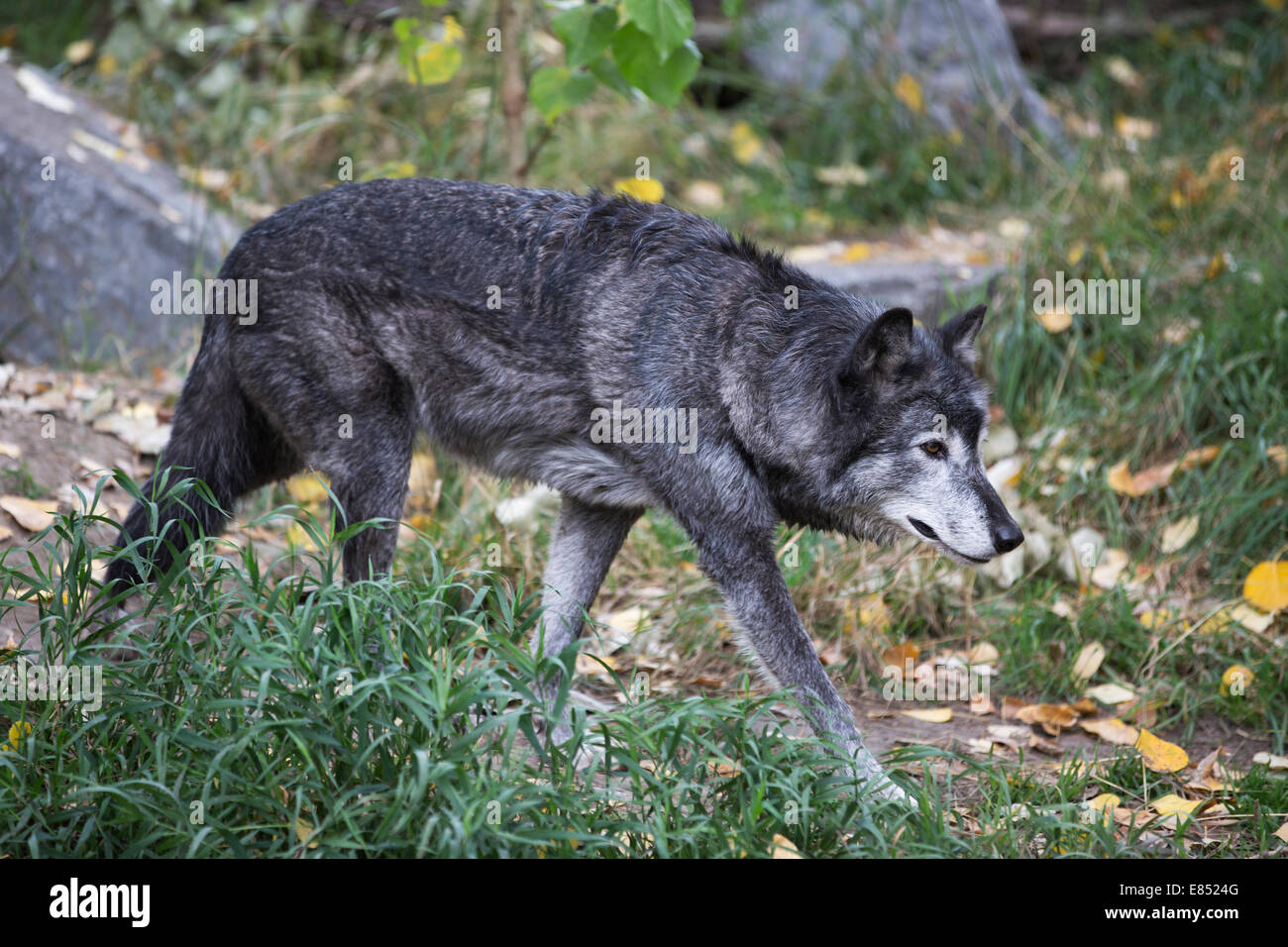 Grey wolf (Canis lupus) in Canadian Wilds zoo exhibit. - Stock Image