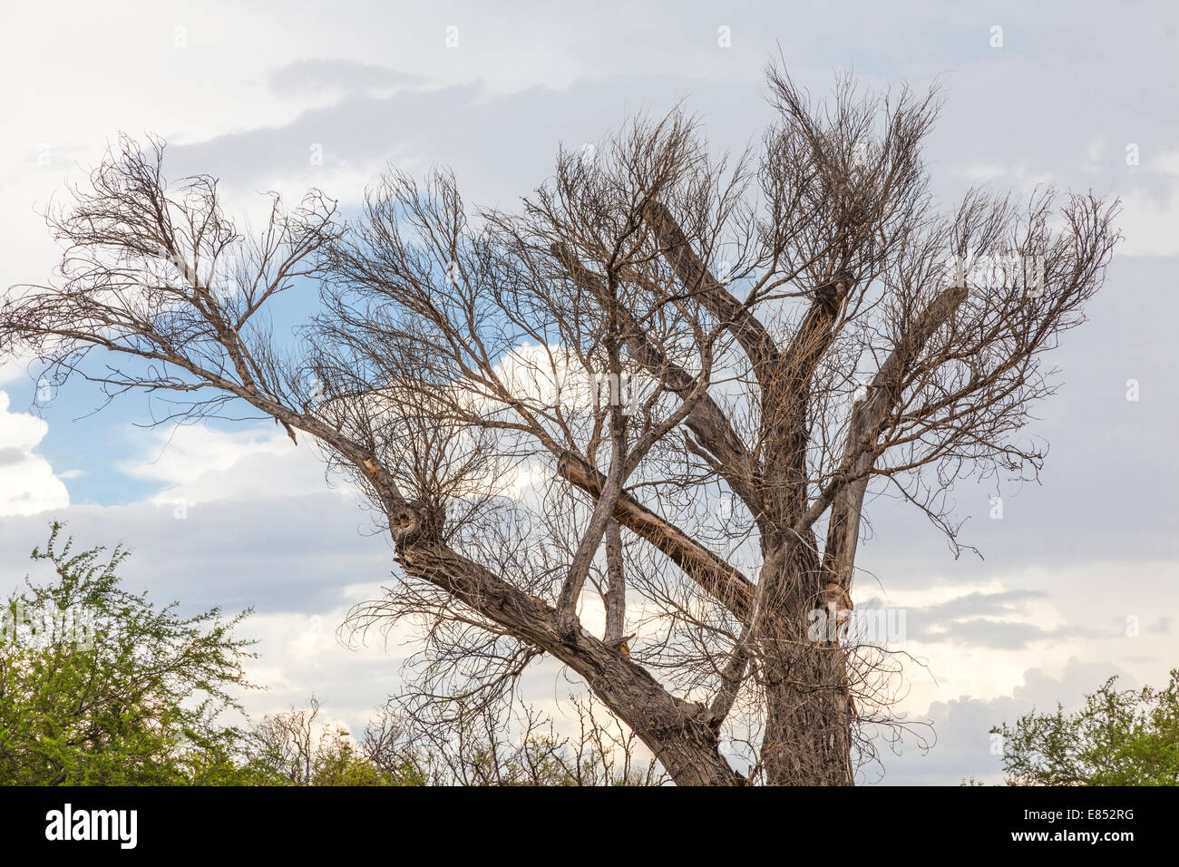 Bare tree with storm clouds developing at Dugout Wells in Big Bend National Park. Stock Photo