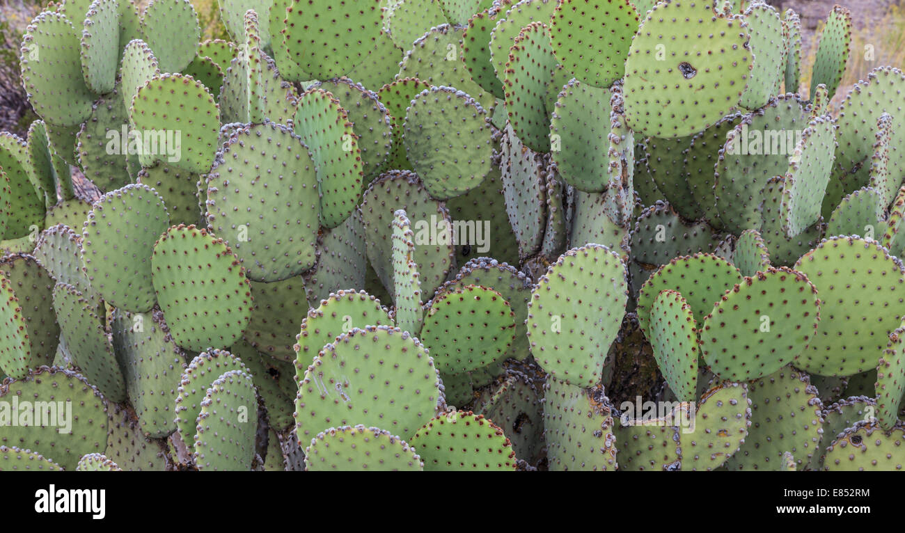 Blind Prickly Pear cactus in Big Bend National Park. Stock Photo