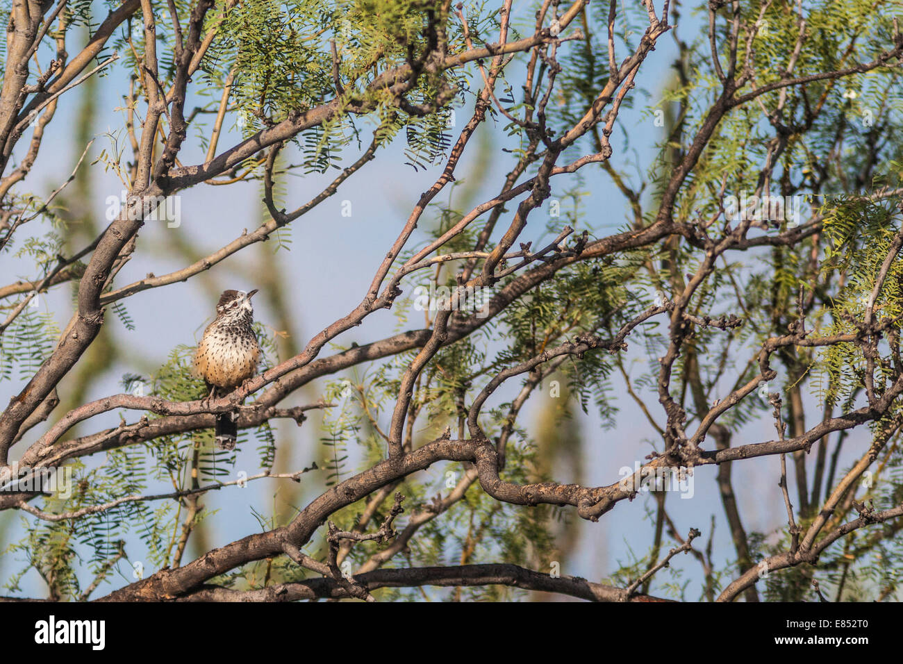 Cactus Wren in Mesquite tree at Panther Junction in Big Bend National Park. Stock Photo