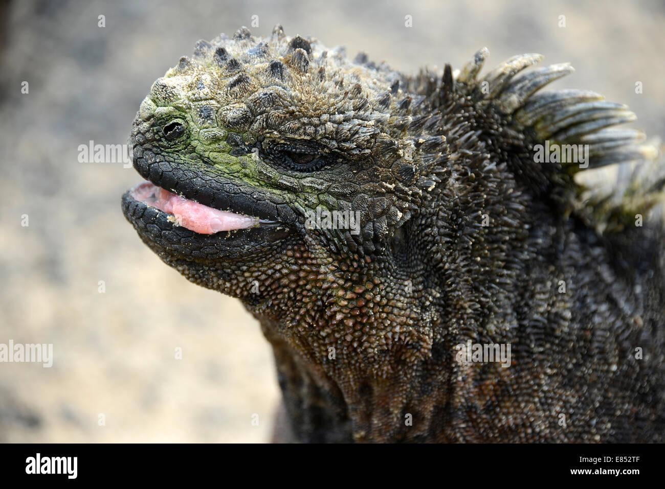 Galapagos Marine Iguana. Amblyrhynchus cristatus - is an iguana located only on the Galapagos, unique among modern - Stock Image