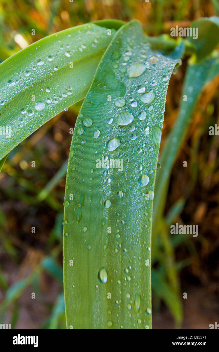 Rain drops on leaves in Big Bend National Park in Southwest Texas. Stock Photo