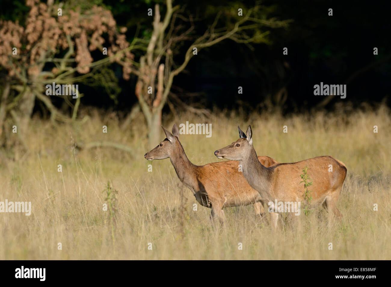 Red Deer (Cervus elaphus), does, Denmark - Stock Image