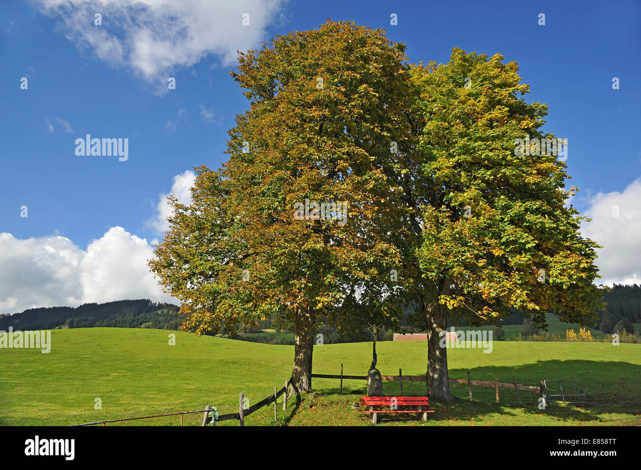 Two Large-leaved Lindens or Large-leaved Limes (Tilia platyphyllos) with autumn foliage, with a crucifix and a red Stock Photo