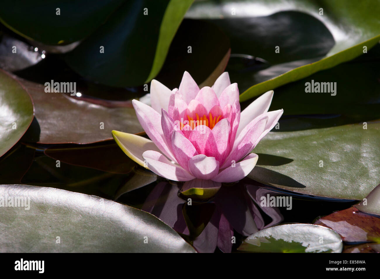 """Pink Water Lily (Nymphaea) """"Fabiola"""" Stock Photo"""
