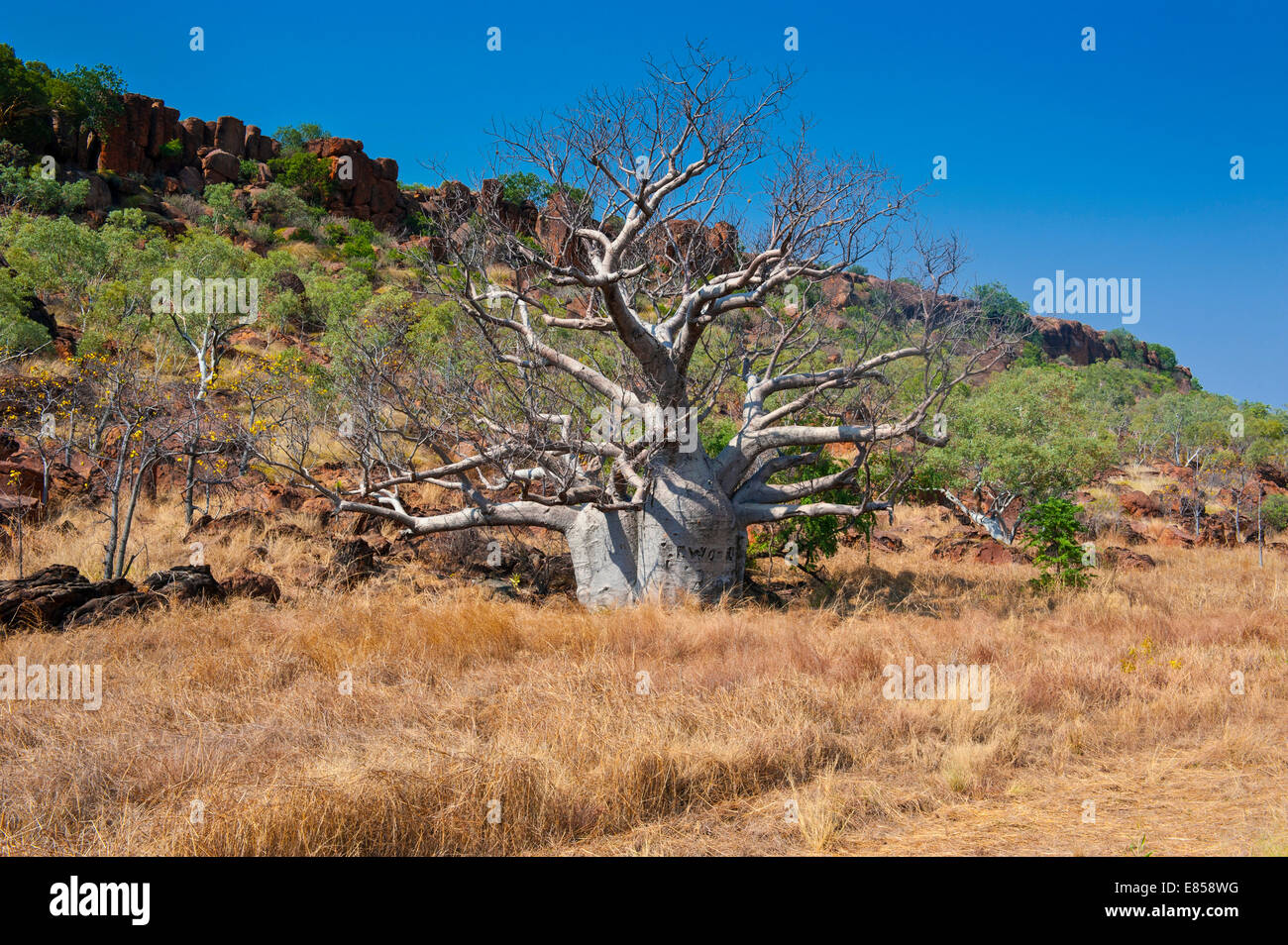 Baobab tree (Adansonia sp.) in the outback, Northern Territory, Australia - Stock Image