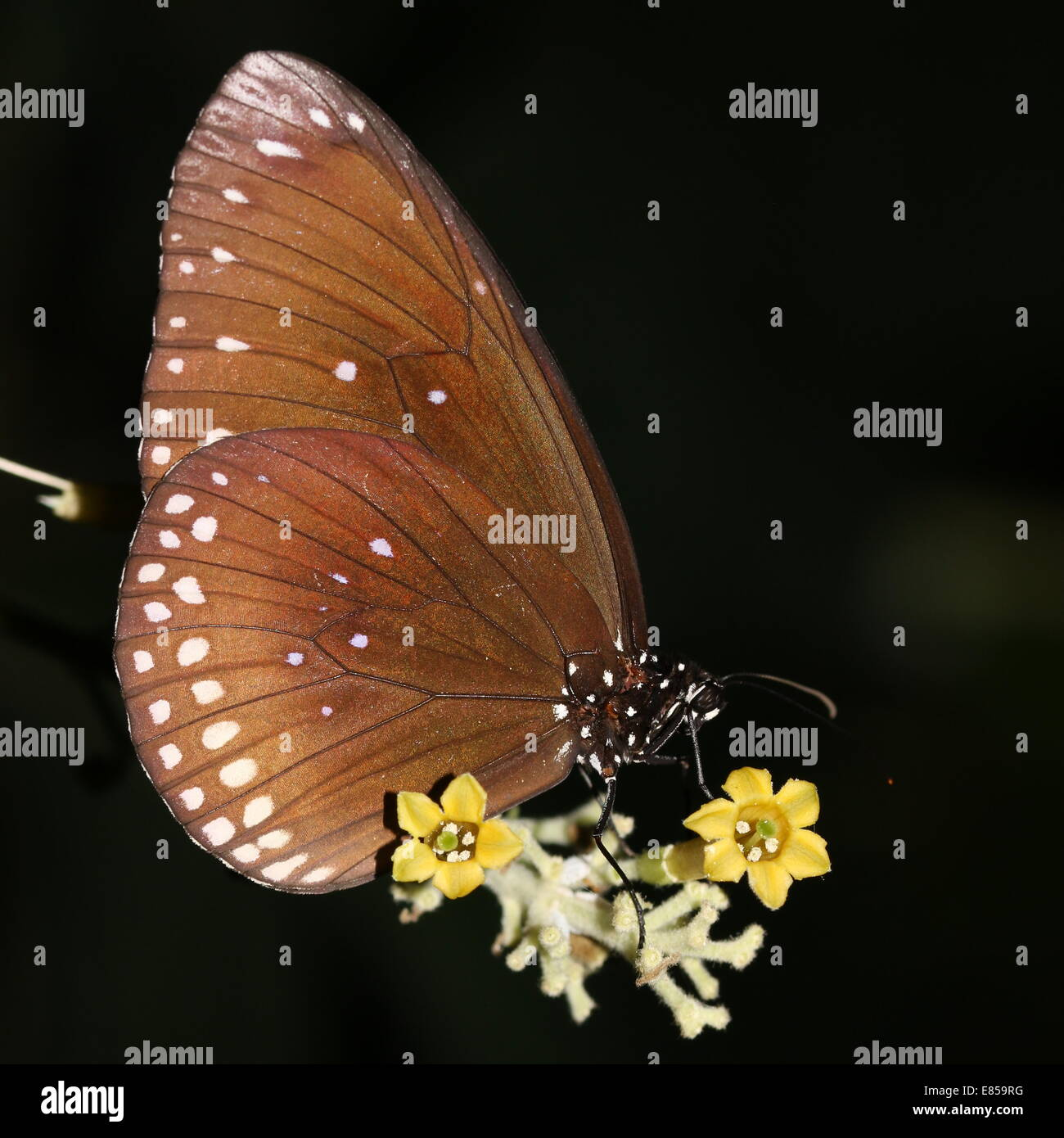 Common Crow butterfly a.k.a. Common Indian or Australian Crow (Euploea core) foraging on a  flower - Stock Image