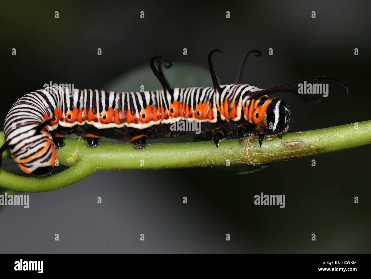 Exotic looking caterpillar of the Common Crow butterfly a.k.a. Common Indian or Australian Crow (Euploea core) - Stock Image