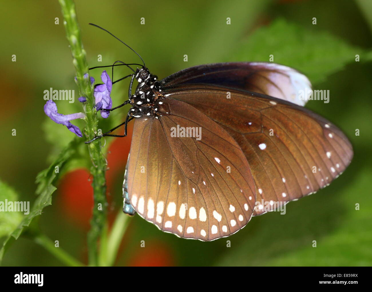 Common Crow butterfly a.k.a. Common Indian or Australian Crow (Euploea core) foraging on a blue flower - Stock Image