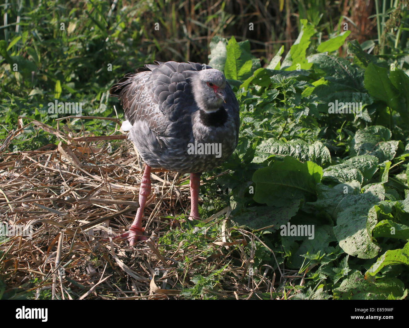Close-up of the Southern or crested  Screamer (Chauna torquata) native to Brazil, Argentina and Uruguay - Stock Image