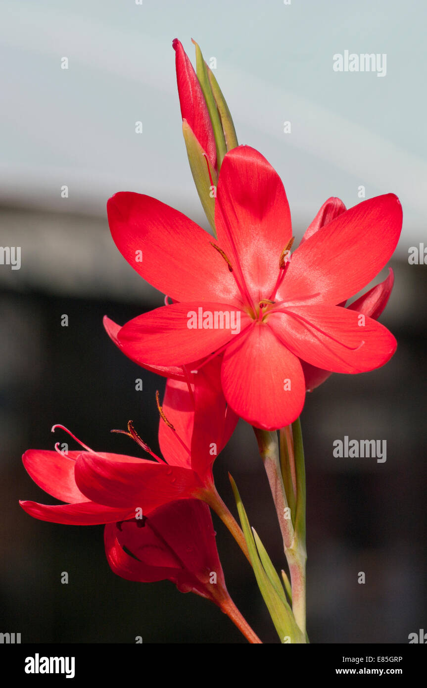 Flag Lily Stock Photos Flag Lily Stock Images Alamy