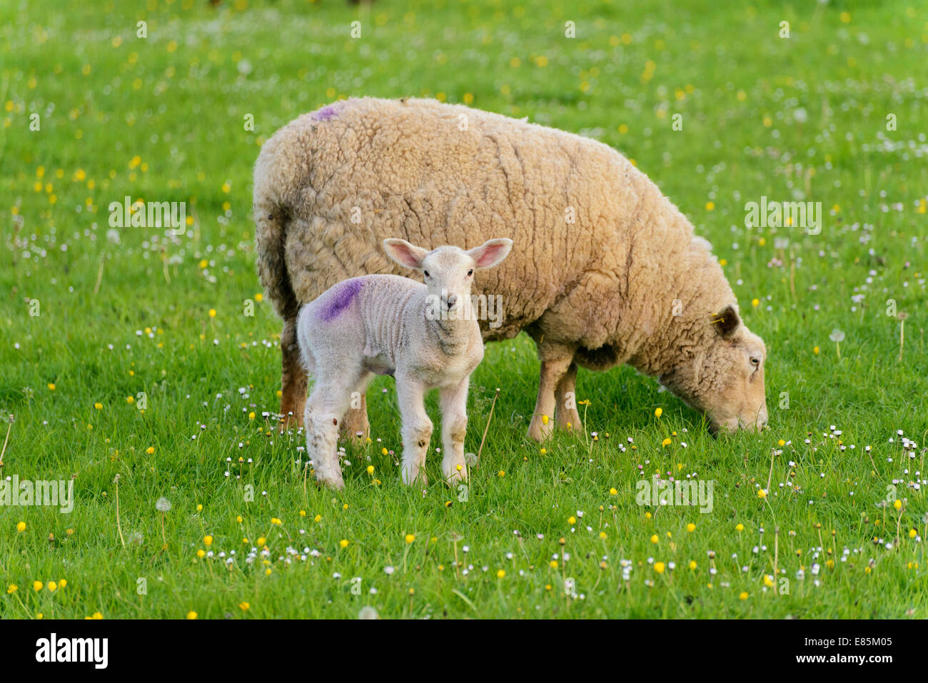 Ewe and lamb in field Oxfordshire UK - Stock Image