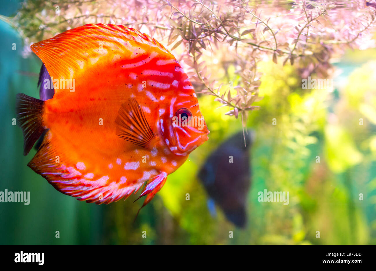 Striped Discus Stock Photos & Striped Discus Stock Images - Alamy