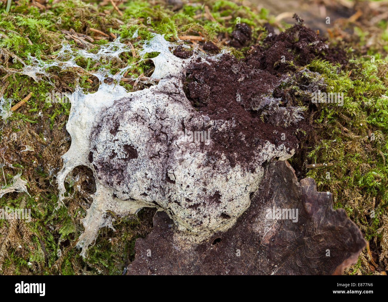 Dog vomit slime mold - Stock Image
