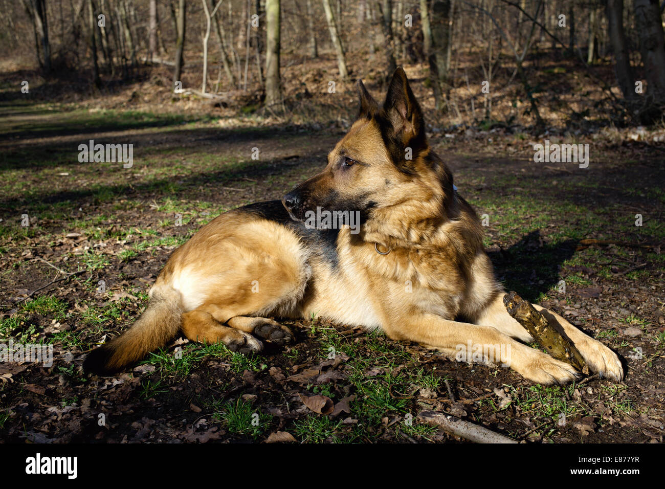 Berlin, Germany, German Shepherd Dog in Portraet - Stock Image