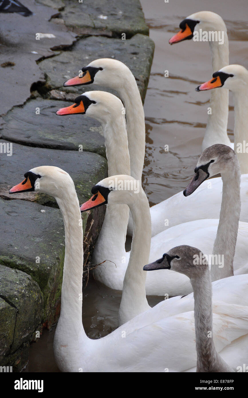 Swans begging for bread in a park - Stock Image