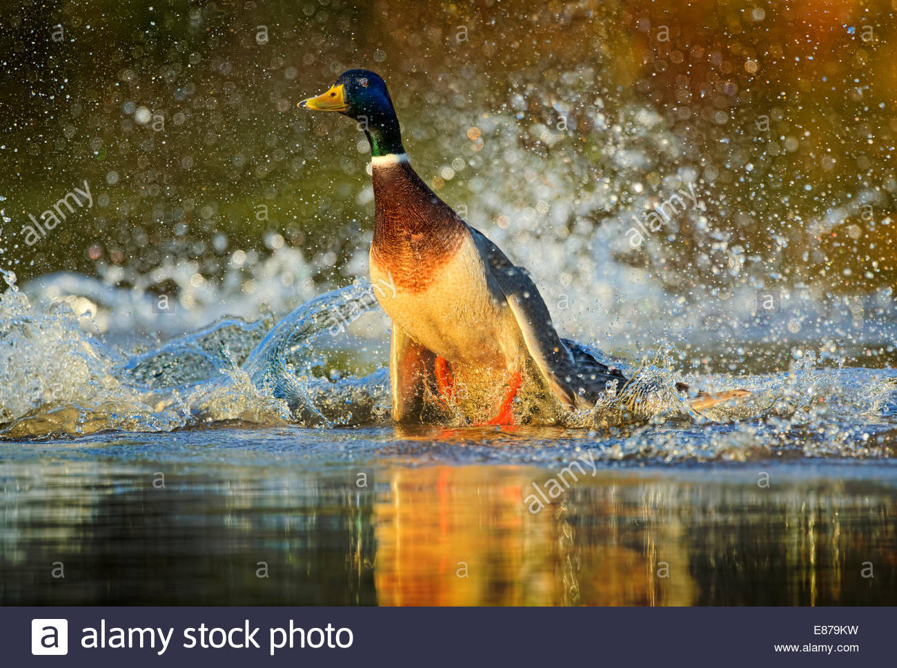 A Mallard Duck taking off from a pond - Stock Image