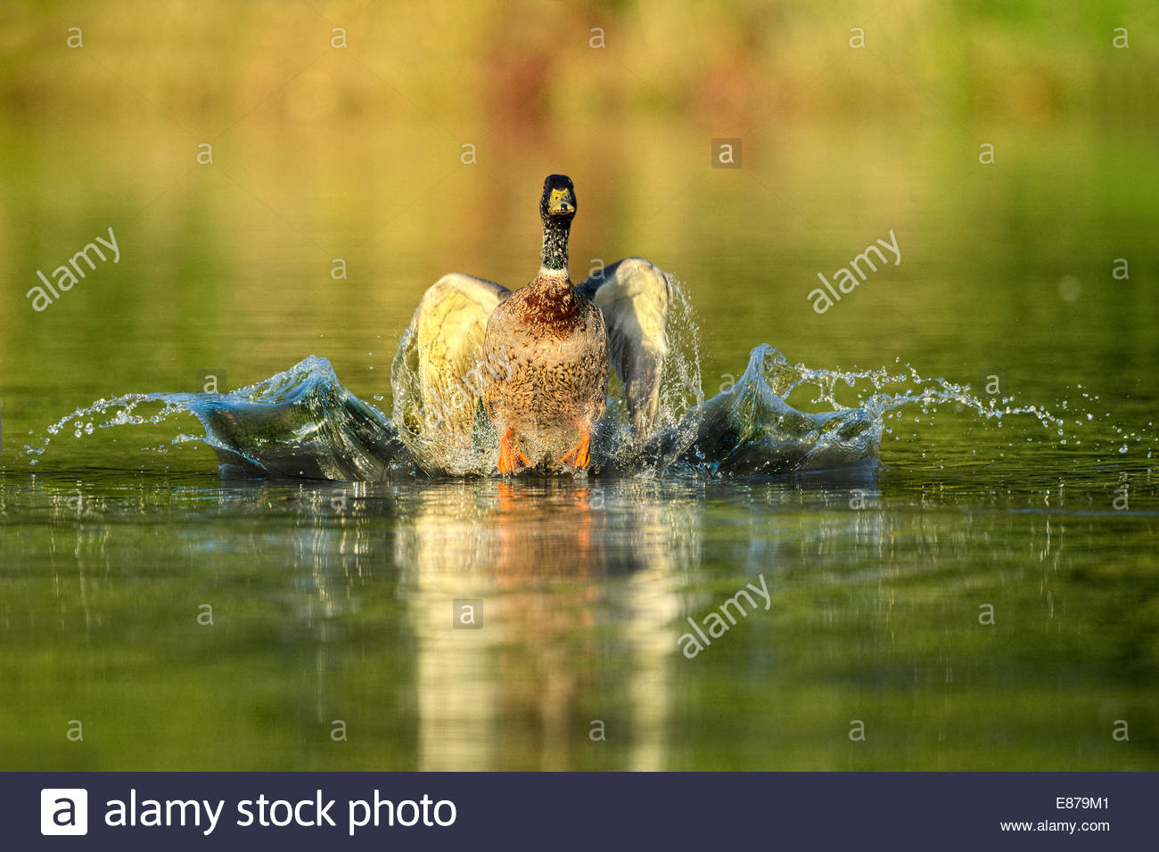 A Mallard Duck landing in a pond with a splash - Stock Image