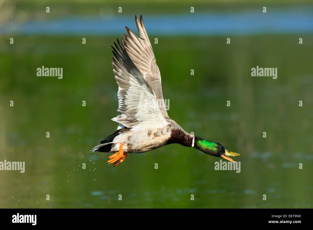 A Mallard duck in flight across a pond whilst quacking - Stock Image