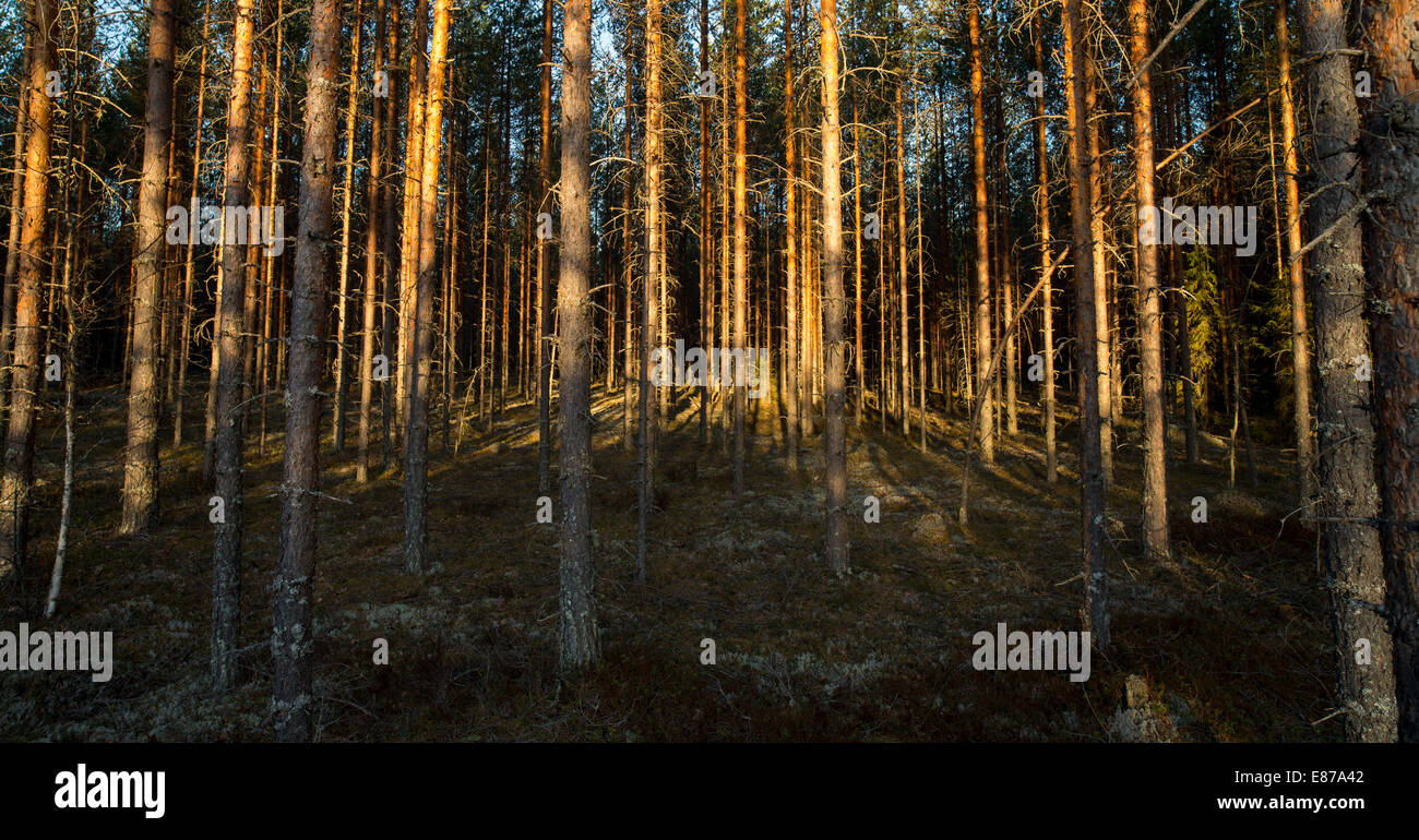 Young pine forest ( pinus sylvestris ) at sunset , Finland - Stock Image