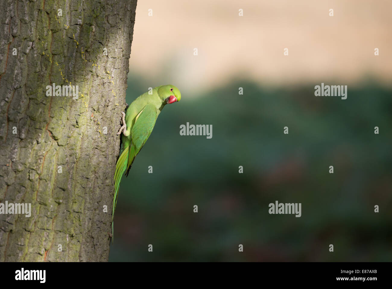 Ring-necked Parakeet on a tree trunk, Richmond Park, London. - Stock Image