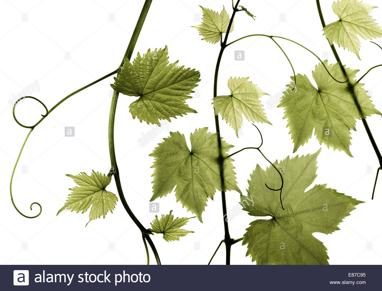 Fresh Grape Vine branch twig leaves on white background - Stock Image