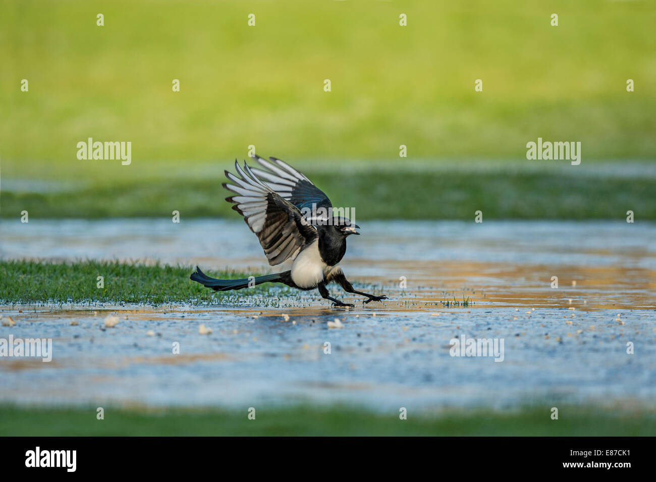 A Magpie slipping on the ice - Stock Image