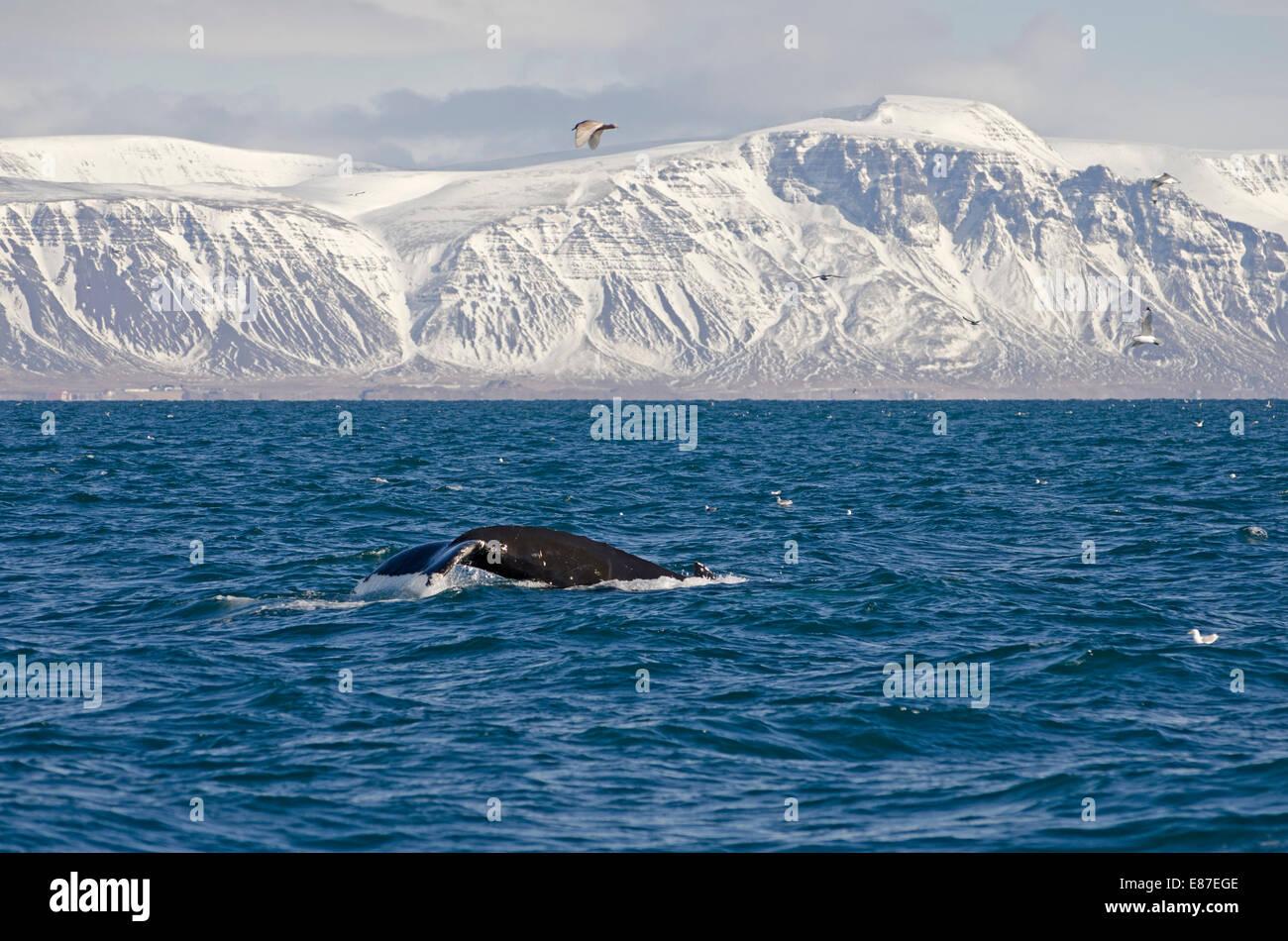 Humpback whale (Megaptera novaeangliae), Faxafloi Bay, Southwest Iceland. - Stock Image