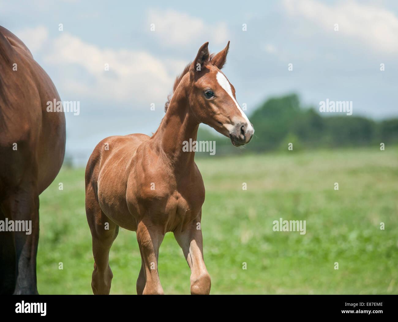 Hanoverian horse foal Stock Photo