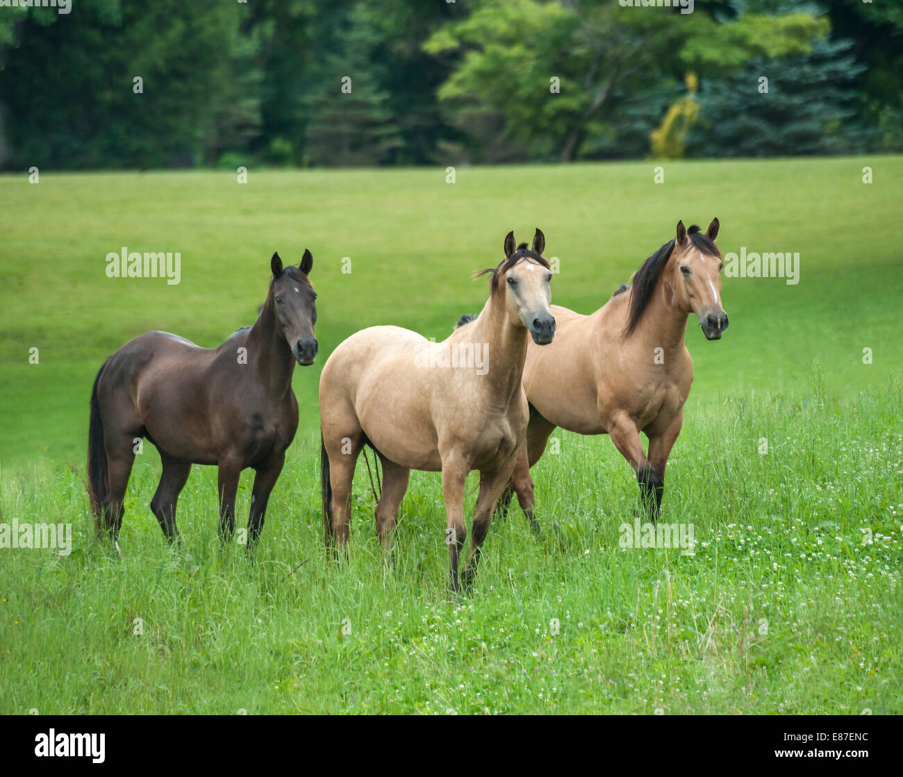 Herd of various horse breeds in lush green paddock - Stock Image