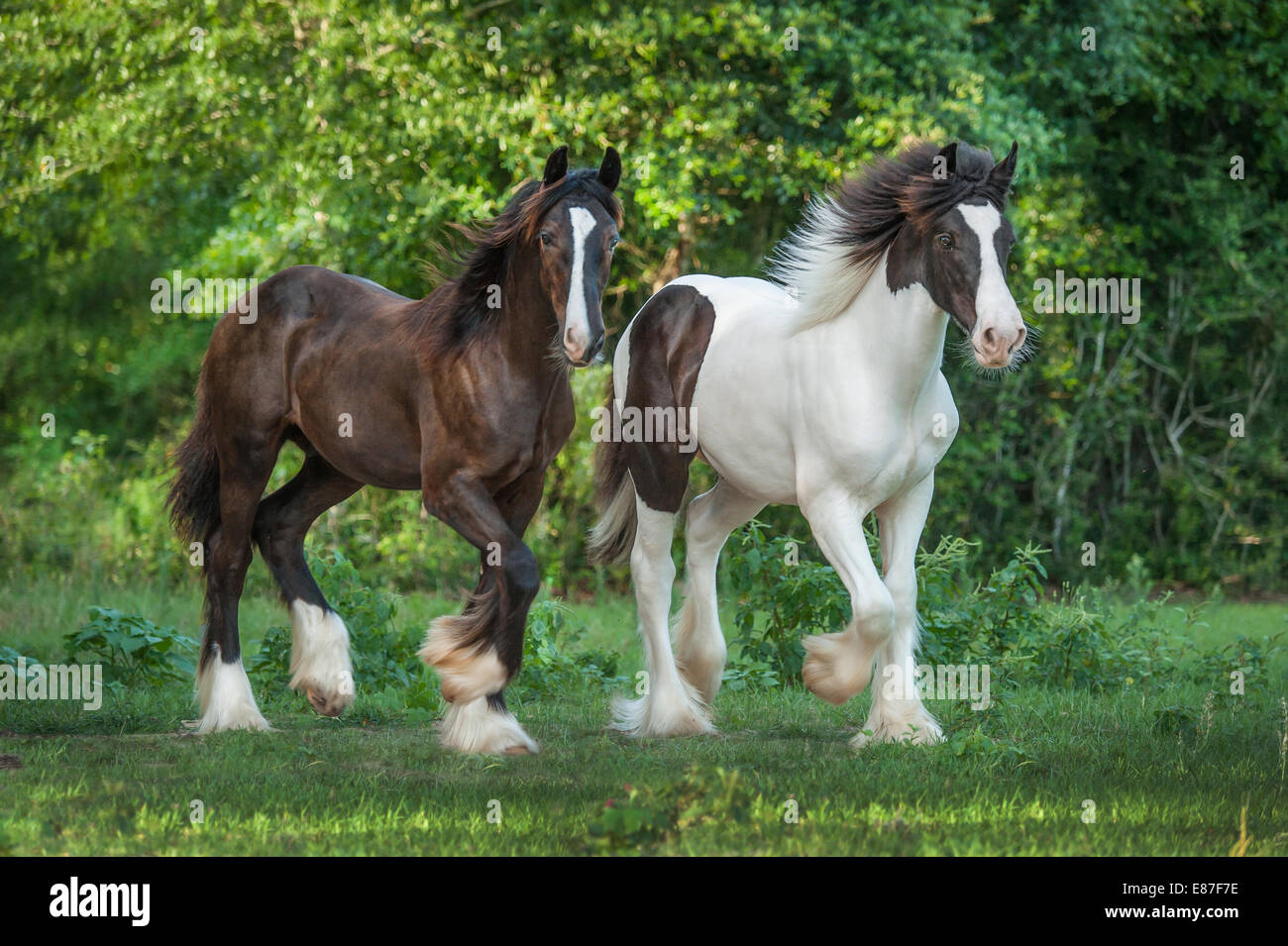 Gypsy Vanner Horse colts run - Stock Image