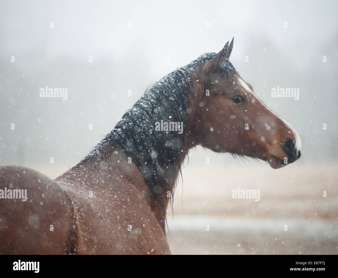Mare in snow storm - Stock Image