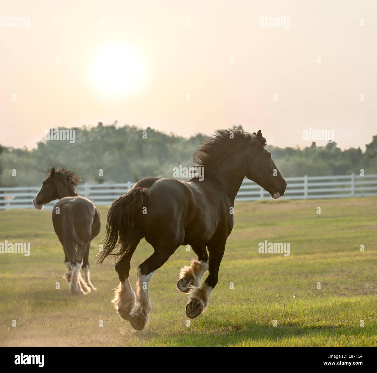 Shire Draft horse yearlings - Stock Image