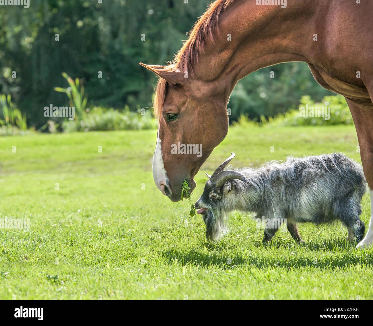 Pygmy goat and stallion - Stock Image