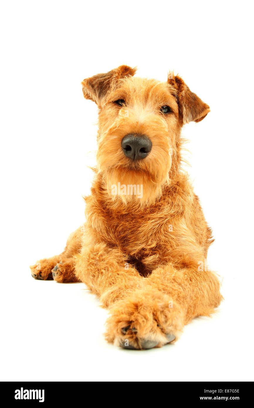 Isolated dog Irish Terrier - Stock Image
