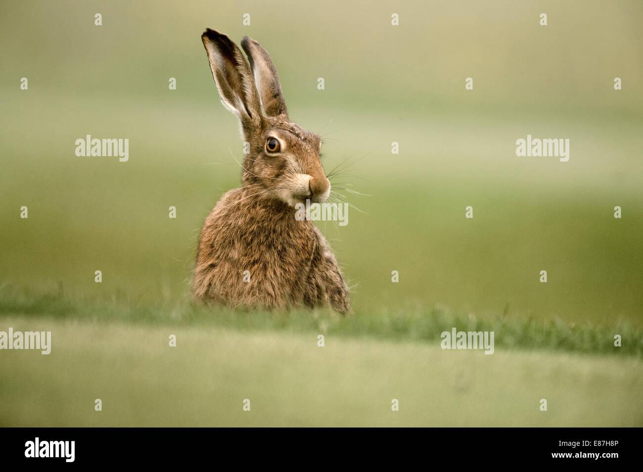 European Brown Hare, Lepus europaeus - Stock Image