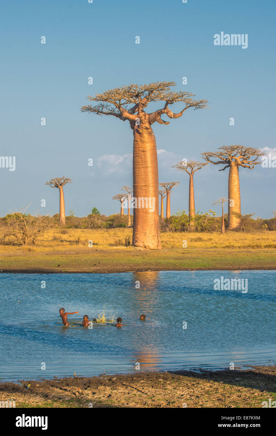 Avenue of the baobabs, Madagascar - Stock Image