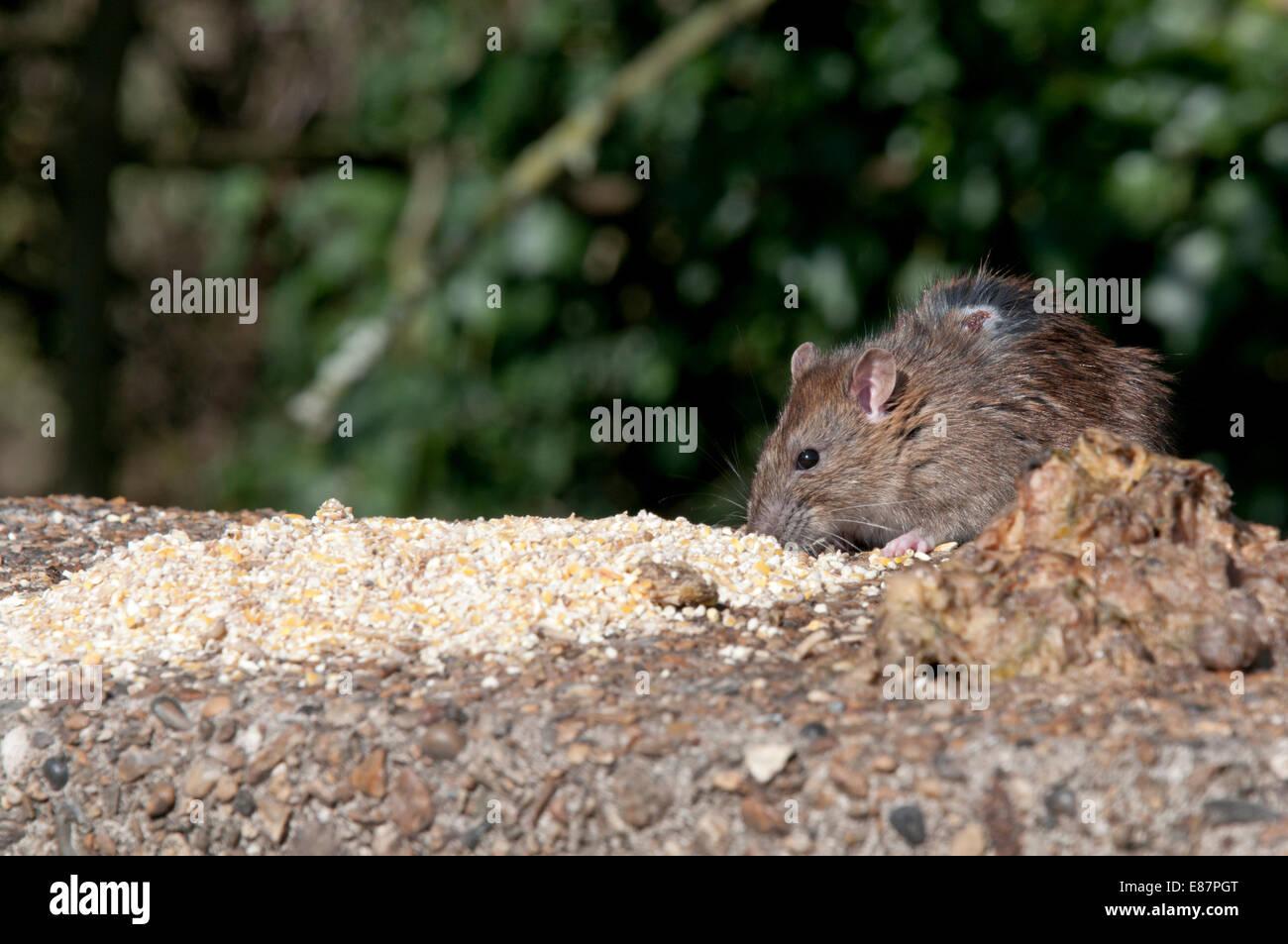 Brown Rat feeding on seed left for birds at Cadmore Lane Bridge, Cheshunt, Herts - Stock Image