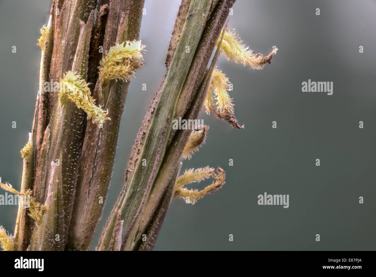 Hybrid Spartina, commonly known as cordgrass or cord-grass, with visable cristals of salt flowers the Gann, salt - Stock Image