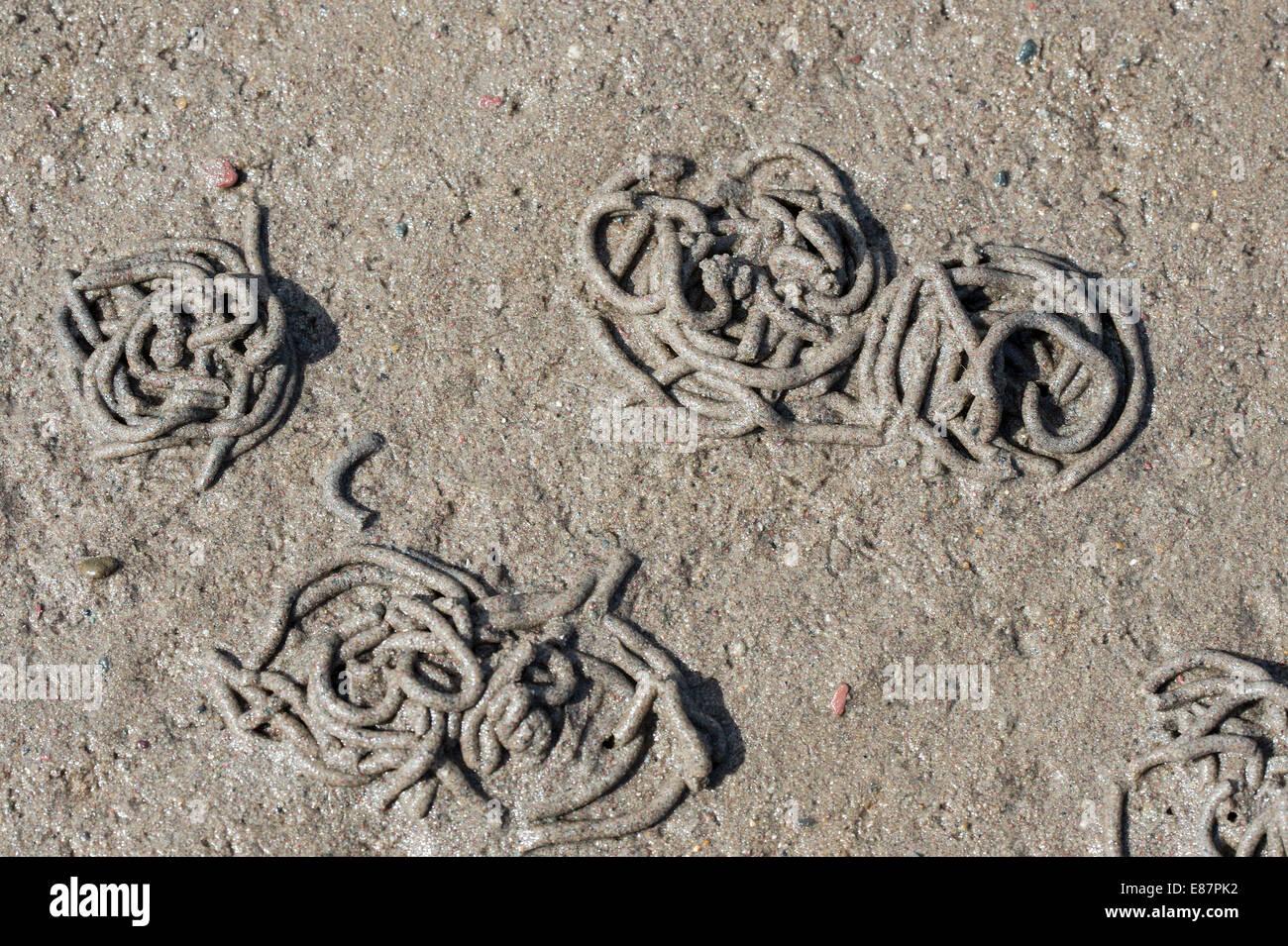 European Lugworm (Arenicola marina) cast of defaecated sediment on beach at low tide, coast the Gann Pembrokshire - Stock Image