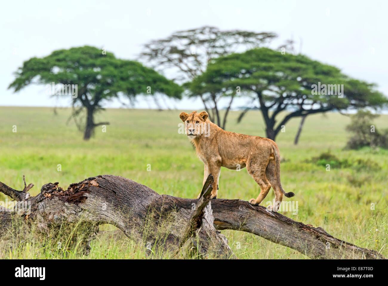 Lion (Panthera leo) on rotten tree, Serengeti, Tanzania - Stock Image