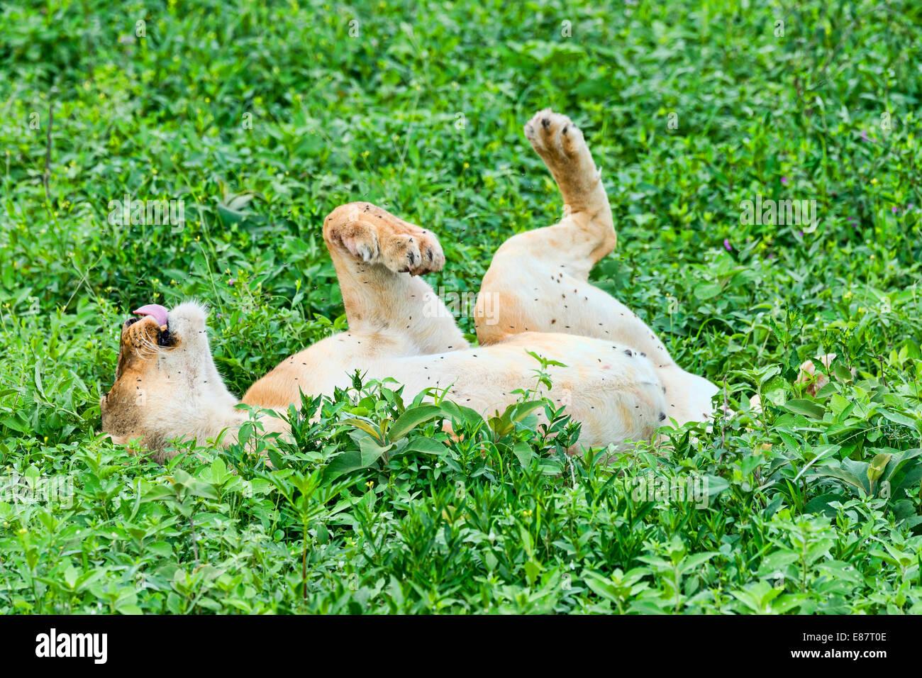 Fly-ridden Lioness (Panthera leo), Ndutu, Tanzania - Stock Image